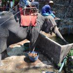 2019 3月(12)タイ・プーケット Bareback Elephant Ridding
